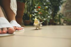 A beautiful little parrot next to women`s feet in bath Slippers. Bird on a blurred background stock photo