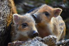 Beautiful little pigs wild in nature. Wild boar. Animal in the spring forest. Beautiful little pigs wild in nature. Wild boar. Animal in the forest Stock Images