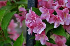 Beautiful little pink flowers close up royalty free stock photo