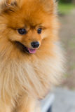 Beautiful little playful pomeranian red color Royalty Free Stock Photos