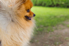 Beautiful little playful pomeranian red color Royalty Free Stock Photography