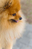 Beautiful little playful pomeranian red color Stock Image