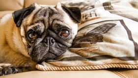Pug dog resting on a pillow. A beautiful little pug dog having a quick rest on a fluffy pillow Royalty Free Stock Photography