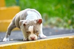 A beautiful little puppy is playing in the landscape of the park, among the green grass of the bony steps. Save the. Space, the ladder counting, the beginning royalty free stock images