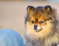 Beautiful little puppy Spitz on the background of sand and beach in the arms of his little mistress, . funny smiling dog with an o. Pen mouth. strapped on a royalty free stock image
