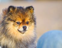 Little puppy Spitz on the background of sand and beach in the arms of his little mistress, . funny smiling dog with an open mouth. stock photography