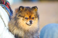 Little puppy Spitz on the background of sand and beach in the arms of his little mistress, . funny smiling dog with an open mouth. Beautiful little puppy Spitz royalty free stock photo