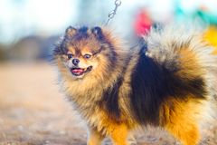 little puppy Spitz stands in full growth on the background of sand and beach. funny smiling dog with an open mouth stock images