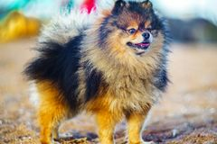Little puppy Spitz stands in full growth on the background of sand and beach. funny smiling dog with an open mouth. Beautiful little puppy Spitz stands in full royalty free stock images