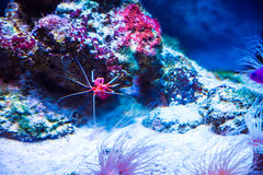 Beautiful little red cancer sea coral. In blue water. Background of the underwater world Royalty Free Stock Photography
