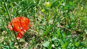 Beautiful little red flower with the content of narcotic substances stock video footage
