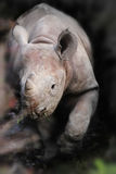 Beautiful Little Rhinoceros Stock Images