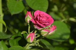 Beautiful little rose royalty free stock photos
