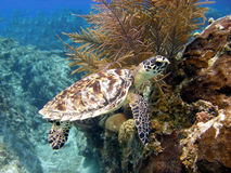 Beautiful little sea turtle. A little Hawksbill sea turtle ignores the divers as it feeds on the corals Royalty Free Stock Image