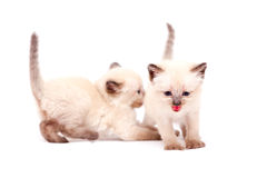 Beautiful little siamese kittens one mewing on camera on white background. Isolated on white background. Royalty Free Stock Images