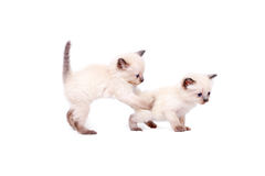 Beautiful little siamese kittens are playing on camera on white background. Isolated on white background. Stock Photos