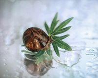 Free Beautiful Little Snail On A Green Leaf Close Up. Snail In The Mirror Reflection With Water Droplets On A White Background, Macro. Royalty Free Stock Photo - 150413025