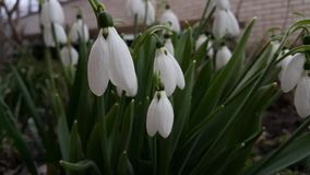 Beautiful little snowdrops. Stock Image