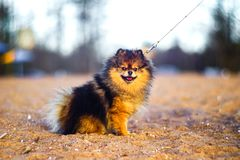 Beautiful little Spitz puppy sits on a background of sand and beach. funny smiling dog with an open mouth. strapped on a leash. A beautiful little Spitz puppy royalty free stock photography