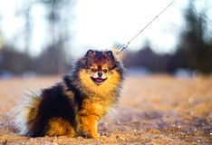Beautiful little Spitz puppy sits on a background of sand and beach. funny smiling dog with an open mouth. strapped on a leash. A beautiful little Spitz puppy royalty free stock photo