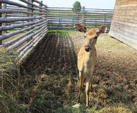 Beautiful little spotted fawn. In the aviary Royalty Free Stock Image