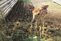 Beautiful little spotted fawn Stock Photos
