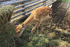 Beautiful little spotted fawn Royalty Free Stock Photography
