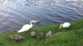 Cute little swan family. A beautiful little swan family near a river or lake stock footage