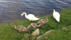Cute little swan family. A beautiful little swan family near a river or lake stock video