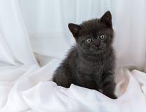 Beautiful little tabby kitten on window sill. British Shorthair breed. Royalty Free Stock Photo