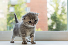 Beautiful little tabby kitten on window sill. Scottish Fold breed. Stock Photo
