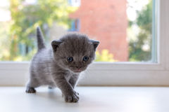 Beautiful little tabby kitten on window sill. Scottish Fold breed. Royalty Free Stock Photo