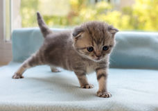 Beautiful little tabby kitten on window sill. Scottish Fold breed. Stock Image