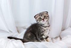 Beautiful little tabby kitten on window sill. Scottish Fold breed. Royalty Free Stock Images