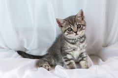 Beautiful little tabby kitten on window sill. Scottish Straight breed. Stock Images