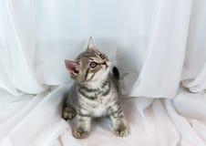 Beautiful little tabby kitten on window sill. Scottish Straight breed. Royalty Free Stock Images
