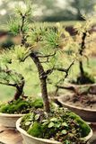 Beautiful little trees bonsai variety on the yard, market and ga Stock Photo