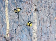 Beautiful little two birds of a tit sit on branches covered with fluffy white frost in a winter park