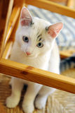 Beautiful little white cat Royalty Free Stock Photo