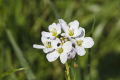 Beautiful little white flowers Royalty Free Stock Photo