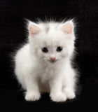 Beautiful little white kitten Royalty Free Stock Photo