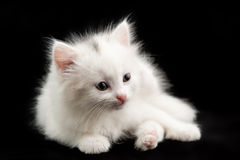 Beautiful little white kitten Stock Images