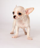 Beautiful little white puppy chihuahua standing Stock Photos