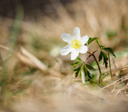 Beautiful little white windflower anemone, standing on its own. At springtime stock photography