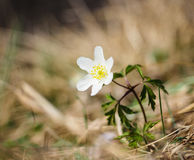 Beautiful little white windflower anemone, standing on its own. At springtime Stock Images