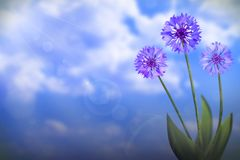 Beautiful live cornflower or knapweed flowers with empty on left on cloudy sky background. Floral spring or summer flowers concept. Beautiful live cornflower or royalty free stock image