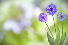 Beautiful live cornflower or knapweed flowers with empty on left on nature leaves and branches bokeh background. Floral spring or. Beautiful live cornflower or stock image