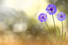 Beautiful live cornflower or knapweed flowers with empty on left on natural leaves and sky blurred bokeh background. Floral spring. Beautiful live cornflower or royalty free stock photos