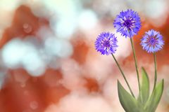 Beautiful live cornflower or knapweed flowers with empty on left on nature leaves and branches bokeh background. Floral spring or. Beautiful live cornflower or royalty free stock photo