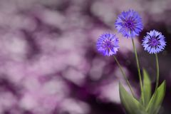 Beautiful live cornflower or knapweed flowers with empty on left on park trees and sky blurred background. Floral spring or summer. Beautiful live cornflower or stock photos